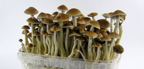 magic mushrooms Canada 100
