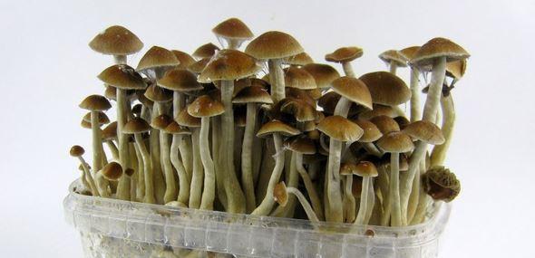 magic mushrooms Canada 100
