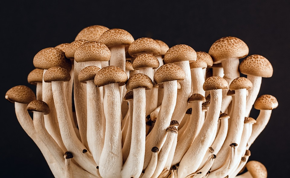 Shrooms for therapeutic use